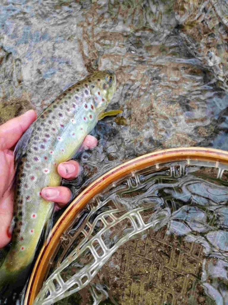 La remise a l'eau d'un beau poisson durant l'ouverture de la truite dans l'Aube