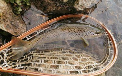 Recherche des truites au toc en petites rivières
